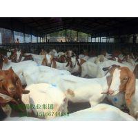 江西波尔山羊养殖场 波尔山羊怀孕母羊价格 优质好品种!