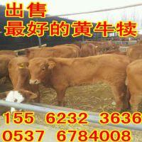 肉牛[西门塔尔牛]养牛[黄牛]养殖场[鲁西黄牛][牛场山东】
