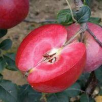 红肉苹果苗 红肉苹果树苗批发价格 量大从优质优价廉