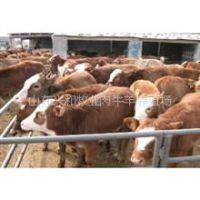 供应三元杂交肉牛价格红白西门塔尔牛养殖利润
