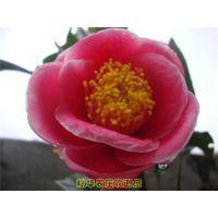 越南抱茎茶 供应越南红抱茎茶扦插苗盆景嫁接苗枝条