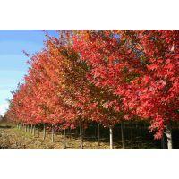 美国红枫,美国红枫供应商