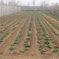 草莓苗 高40cm草莓苗 草莓小苗 草莓苗品种 红颜草莓苗 章姬草莓苗