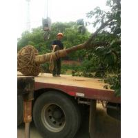 湖南逸彩园林香泡树4月低***低报价 10公分15公分20公分香泡树价格