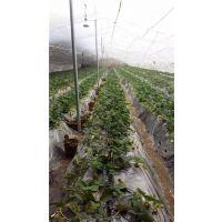 红颜草莓苗直销、克孜勒苏红颜草莓苗、世杰园艺场(在线咨询)