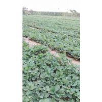 山西脱毒草莓苗,世杰园艺场,脱毒草莓苗苗圃