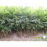 香椿苗栽培技术,菏泽香椿苗,润丰苗木