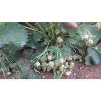 云南草莓苗品种基地,全明星草莓苗,丰香草莓苗价格