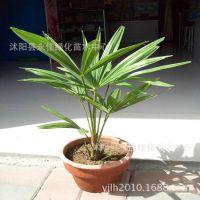 基地供应乔木类【棕榈】苗木 工程绿化苗木 价格低廉