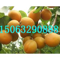 金奥林杏树苗,凯特杏树苗,临沂金诚苗木,15864858251