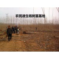 2016杨树苗价格 北京杨树苗价格 意杨树苗价格