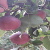 玉露香梨树苗 价格低廉 优质批发采购 超值低价