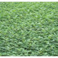 大量核桃苗供应 辽河、中林、香菱核桃树苗