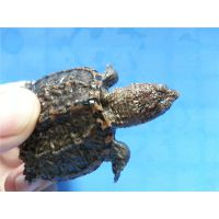 鳄鱼龟苗 广东鳄鱼龟 小鳄鱼龟批发1至3两养殖场直批