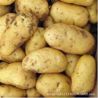 优质新鲜土豆  养生绿色农产品土豆  现货出售优质土豆 厂家直销
