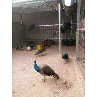哪里有养殖孔雀的养殖场 山东孔雀价格多少钱一只