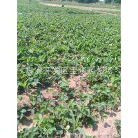 高品质草莓苗 福建草莓苗价格 优质红颜草莓苗 福建果树苗木