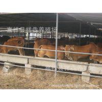 养殖改良肉牛 农村创业致富好项目 三元改良肉牛 价格低廉