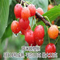 拉宾斯樱桃苗哪里有卖 包成活100%纯种 泰东园艺场