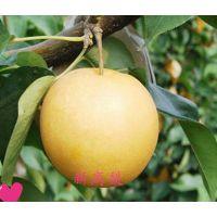 新高梨树苗哪里有 全国梨树苗基地