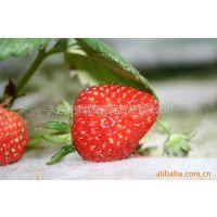 供应日本草莓苗,日本草莓