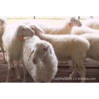 大量头胎小尾寒羊孕羊-二胎小尾寒羊怀孕羊各是什么价格
