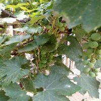 出售葡萄一年苗 根系好成活率高 葡萄苗的价格是多少?