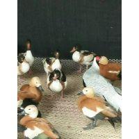 观赏鸭出售山东珍禽养殖场