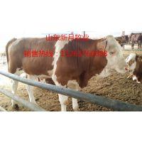 甘肃酒泉西门塔尔牛养殖场-长期供应西门塔尔牛犊