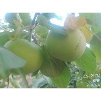 正一园艺场基地批发苹果苗 富藤早熟苹果苗价格 品种纯正 成苗价格低 易成活