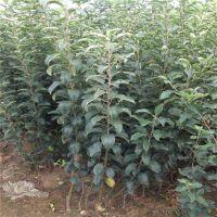 壹棵树 红肉苹果苗 矮化苹果苗新品种 厂家价格