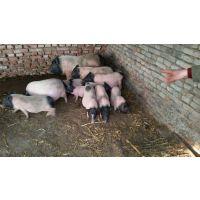 养殖巴马小香猪的价格