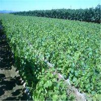 志森园艺葡萄苗品种 早熟巨宝特早葡萄苗价格 品质纯正