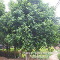 绿丰耀种业 批发天竺桂 普陀樟林木树种子 常绿树种 品种齐全