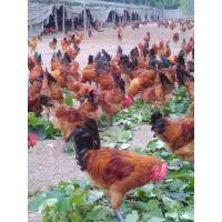 出售湖北 湖南 四川 安徽地区土鸡苗提供技术