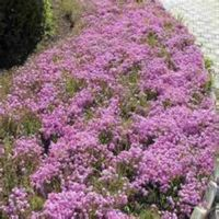 哪里有批发宿根花卉的|宿根花卉|芳青花卉苗