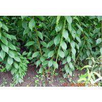 2015年新品种李子树苗 新品种李子树苗繁育基地 新品种李子树苗价格
