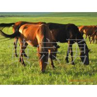山东省肉马养殖基地出售矮马,伊犁马,三河马品种好