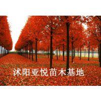 美国改良红枫红点红枫树苗供应 沭阳亚悦美国红枫小苗基地
