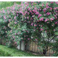 当今蔷薇花苗主要产地在江苏 这里蔷薇花苗相当便宜