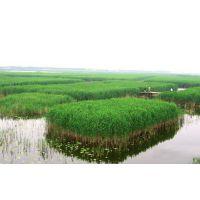 供应白洋淀野生芦苇、芦苇苗、芦苇种苗、芦苇种植、求购芦苇苗