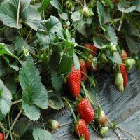 贵州草莓苗价格 贵州草莓苗基地 哪里有草莓苗 红颜草莓苗价格