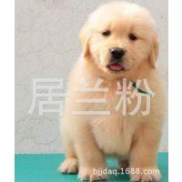 纯种金毛巡回猎犬.幼犬宝宝-健康质保-低价出售