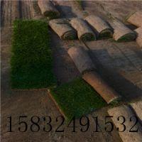 栾城北华草坪种植基地提供有用的冷季型草坪种植技术