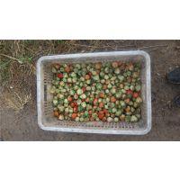 天津草莓种苗种植基地,甜宝草莓苗,章姬草莓苗价格