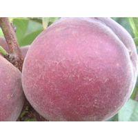 黑桃皇后树苗哪里有 一公分黑桃树苗价格 黑桃的特点与种植