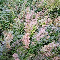 批发出售红叶小檗 山东绿化苗红叶小檗种植基地 价格低廉的红叶小檗