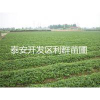 供应坐果率极高亩产4000kg的丰香草莓苗 高产品种草莓苗基地