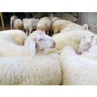 肉羊|万隆畜牧养殖|肉羊养殖