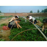 优质红薯苗培育基地